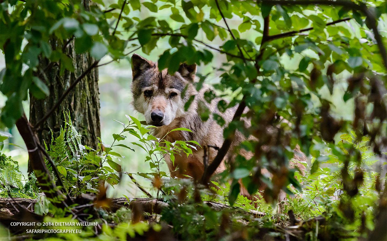 Wolf_06