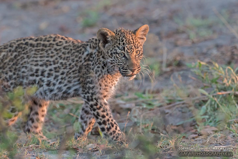Leopard - Selinda Reserve - Botswana