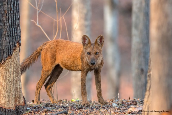 Indischer Wildhund - Pench Nationalpark - Indien