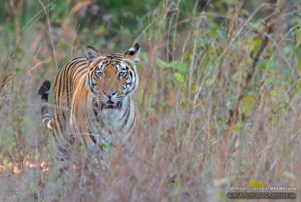 Tiger - Kanha N.P.