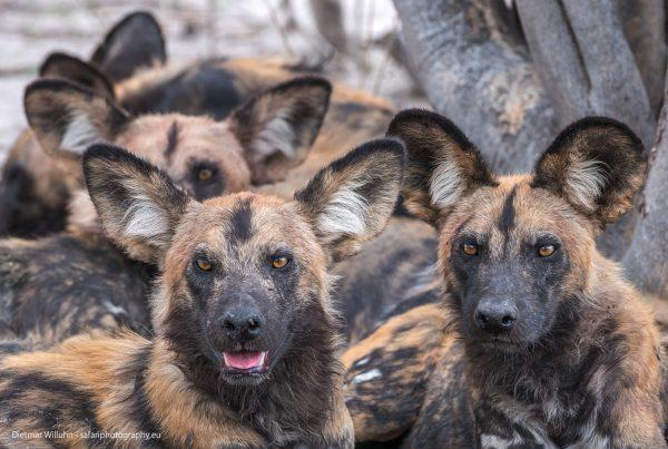 Afrikanische Wildhunde - Selinda Reserve - Botswana
