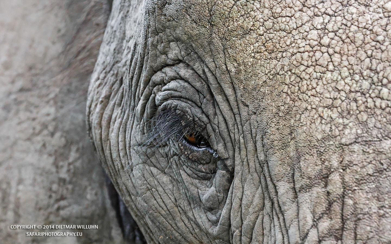 Elefantenportrait - Linyanti Reserve - Botswana