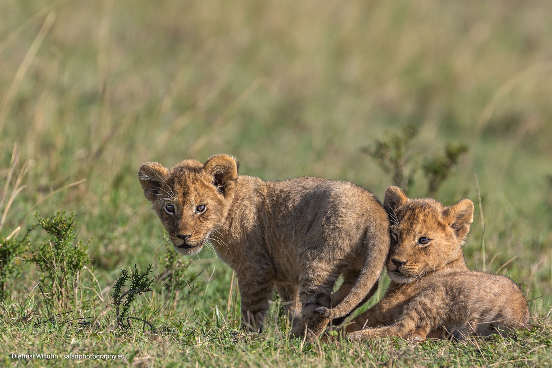 Löwenbabies - Masai Mara National Reserve - Kenia