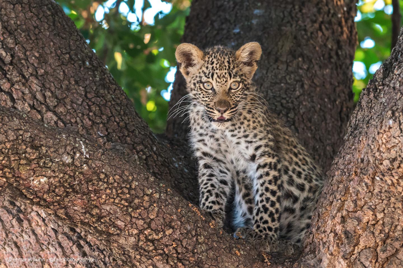 Leoparden Junges - Selinda Reserve - Botswana