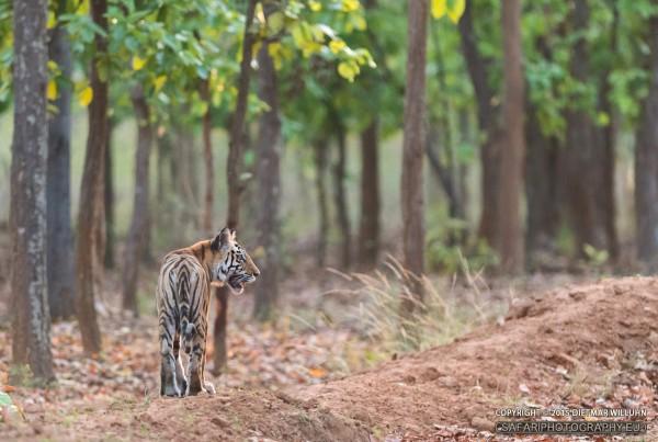 Junger Tiger - Kanha
