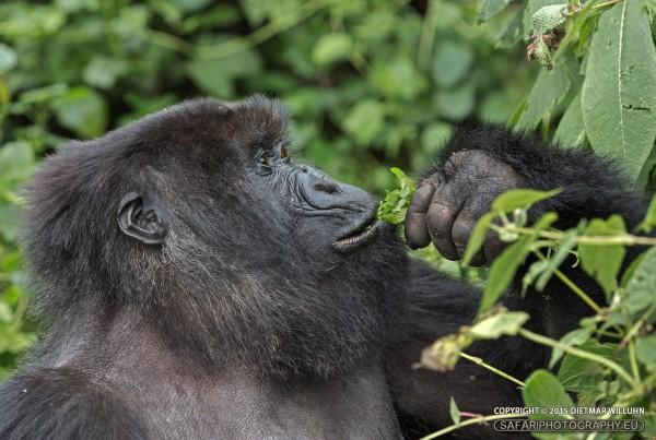 Berggorilla - Ruanda