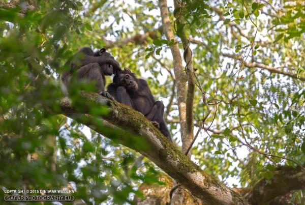 Schimpansen - Kibale
