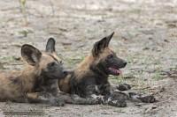 Afrikanische Wildhunde - Linyanti Game Reserve - Botswana