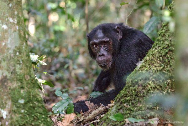 Schimpanse - Kibale Forest Nationalpark - Uganda
