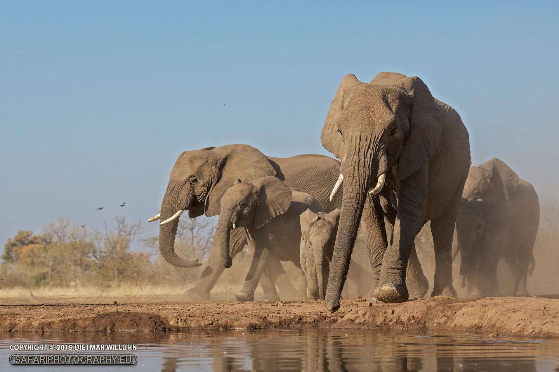 Elefanten – Mashatu Game Reserve – Botswana