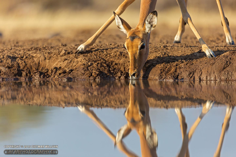 Impala Antilope - Mashatu Game Reserve - Botswana