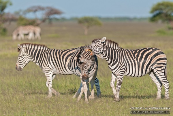 Zebras im Nxai Pan Nationalpark