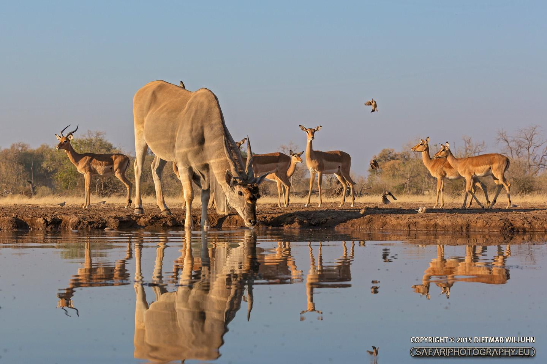Eland und Impalas – Mashatu Game Reserve – Botswana