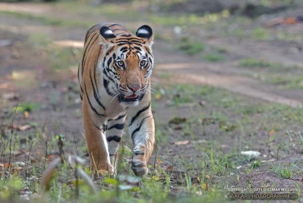 Tiger - Kanha