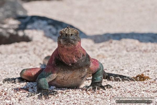 Meerechse - Galapagos