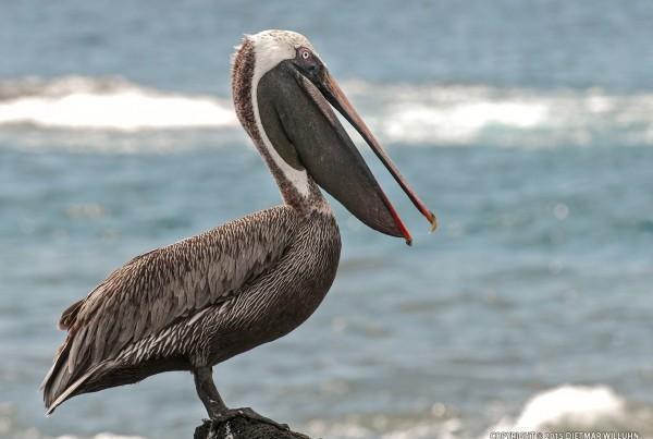 Pelikan - Galapagos