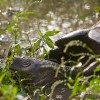 Riesenschildkröte - Galapagos