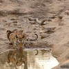 Tiger - Banhavgarh