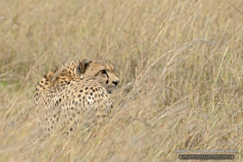 Gepard - Masai Mara - Kenia