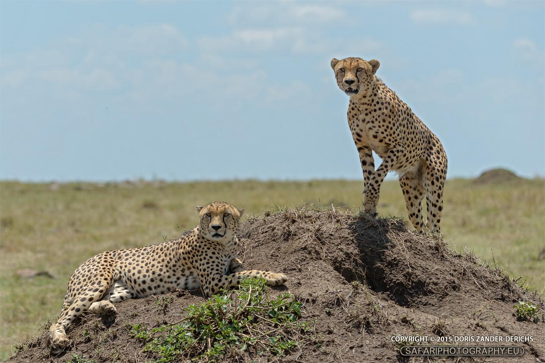 Gepard - Masai Mara