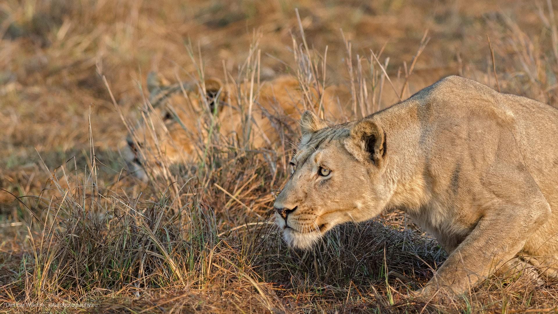 Löwen - Sambia