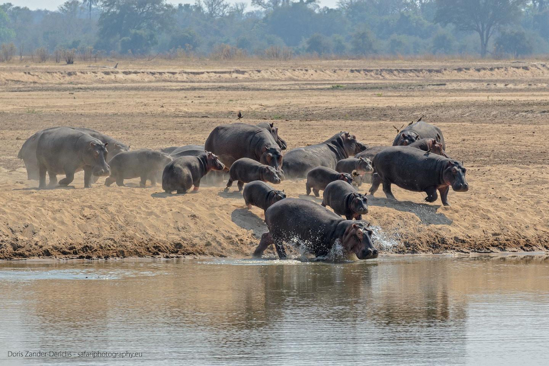Flusspferde - Luangwa