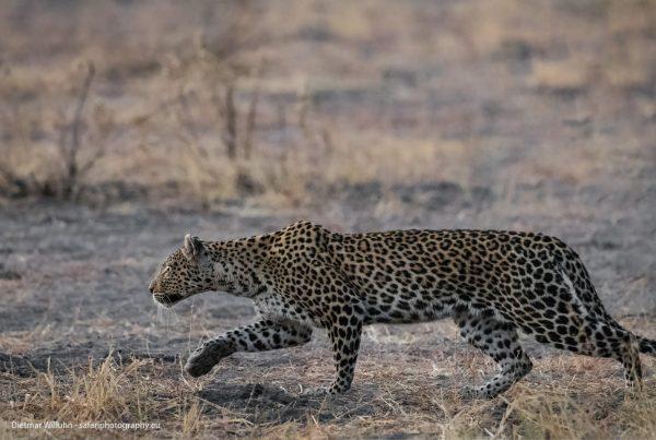 Leopard - Savuti Game Reserve - Botswana