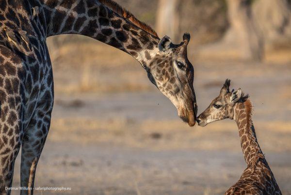 Giraffen - Moremi Game Reserve - Botswana