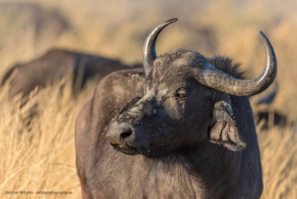 Afrikanischer Büffel - Moremi Game Reserve - Botswana