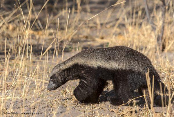 Honigdachs - Moremi Game Reserve - Botswana
