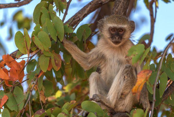 Südliche Grünmeerkatze - Moremi Game Reserve - Botswana