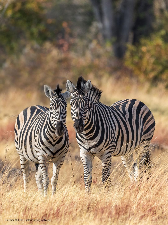 Zebras – Moremi Game Reserve – Botswana