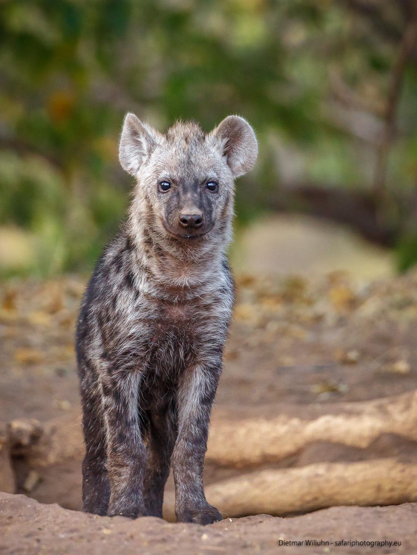 Tüpfelhyäne – Mashatu Game Reserve – Botswana