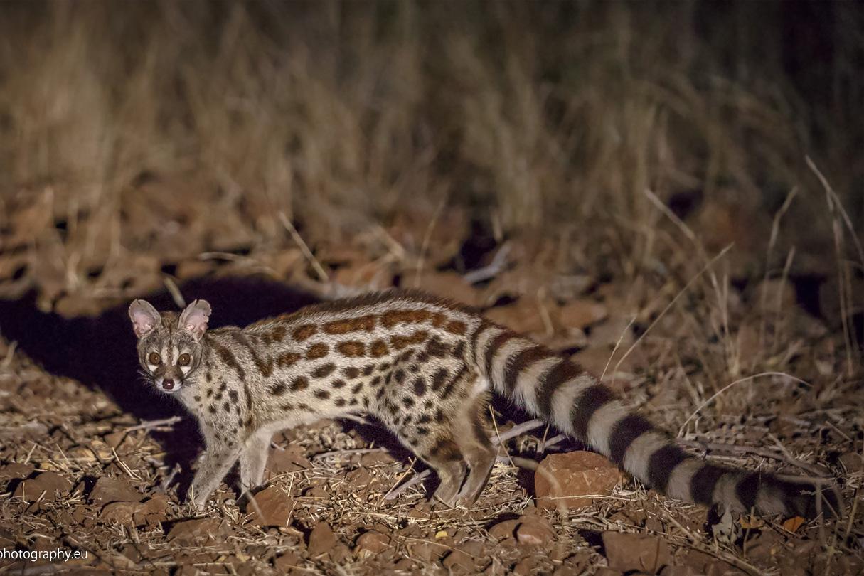 Ginsterkatze – Mashatu Game Reserve – Botswana