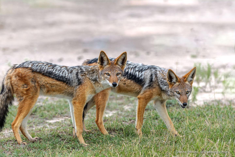 Schabrackenschakale – Central Kalahari Game Reserve – Botswana