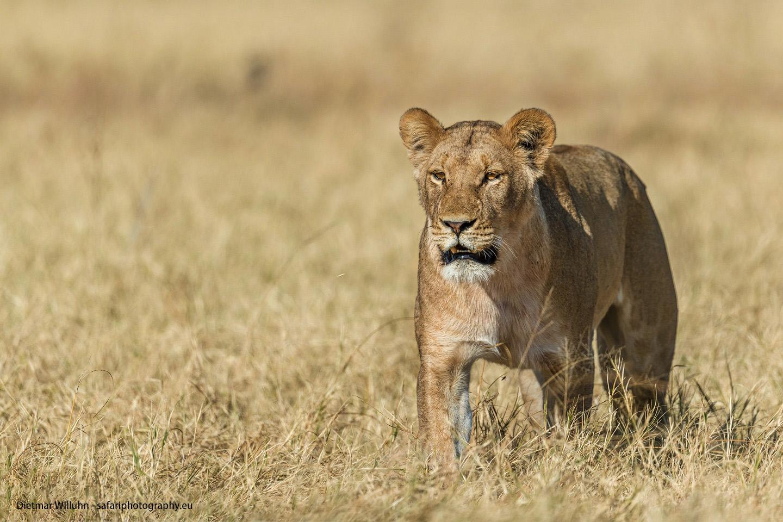 Löwe - Savuti Game Reserve - Botswana
