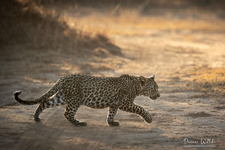 Leopard - Londolozi Game Reserve - Südafrika