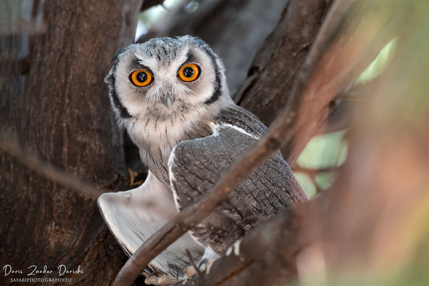 White-Faced Owl - Kgalagadi Transfrontier Park - South Africa