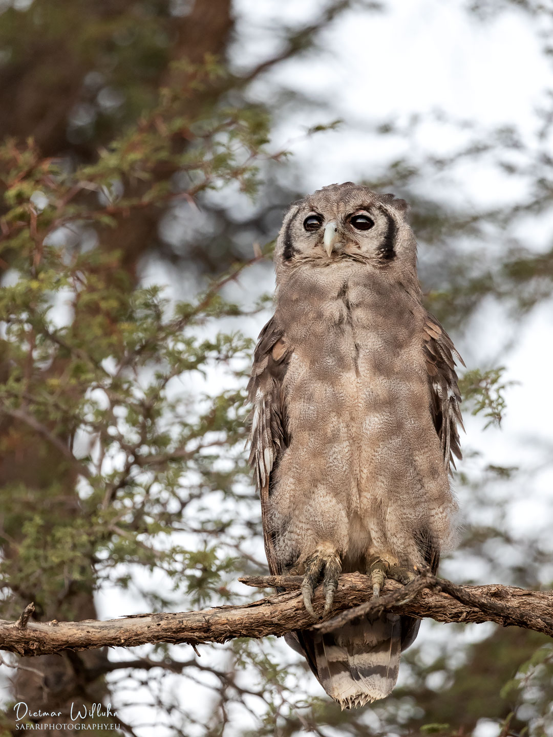 Giant Eagle-Owl - Kgalagadi Transfrontier Park - South Africa