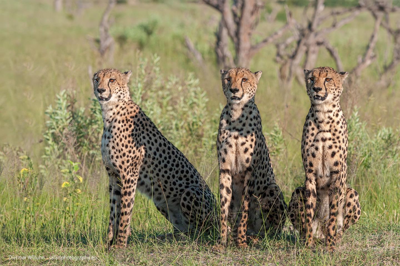 Geparden - Kwando Reserve - Botswana