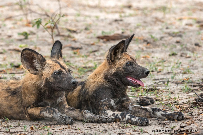 Afrikanische Wildhunde - Linyanti Reserve - Botswana