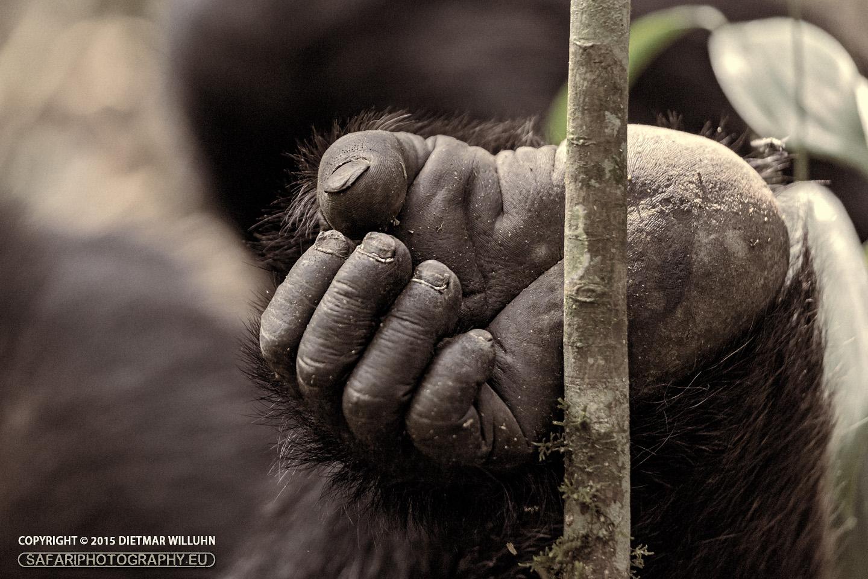 Schimpanse - Kibale Forest