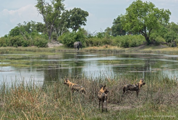 Afrikanische Wildhunde - Savuti Channel - Botswana