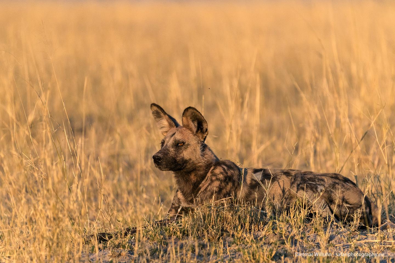 Afrikanischer Wildhund - Moremi Game Reserve - Botswana