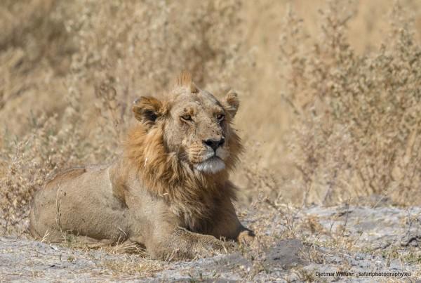 Löwe - Moremi Game Reserve - Botswana