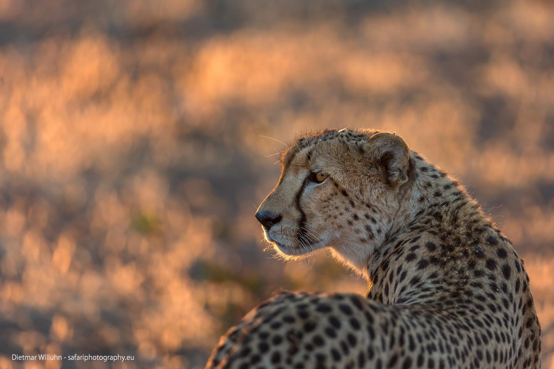 Gepard - Mashatu Game Reserve - Botswana
