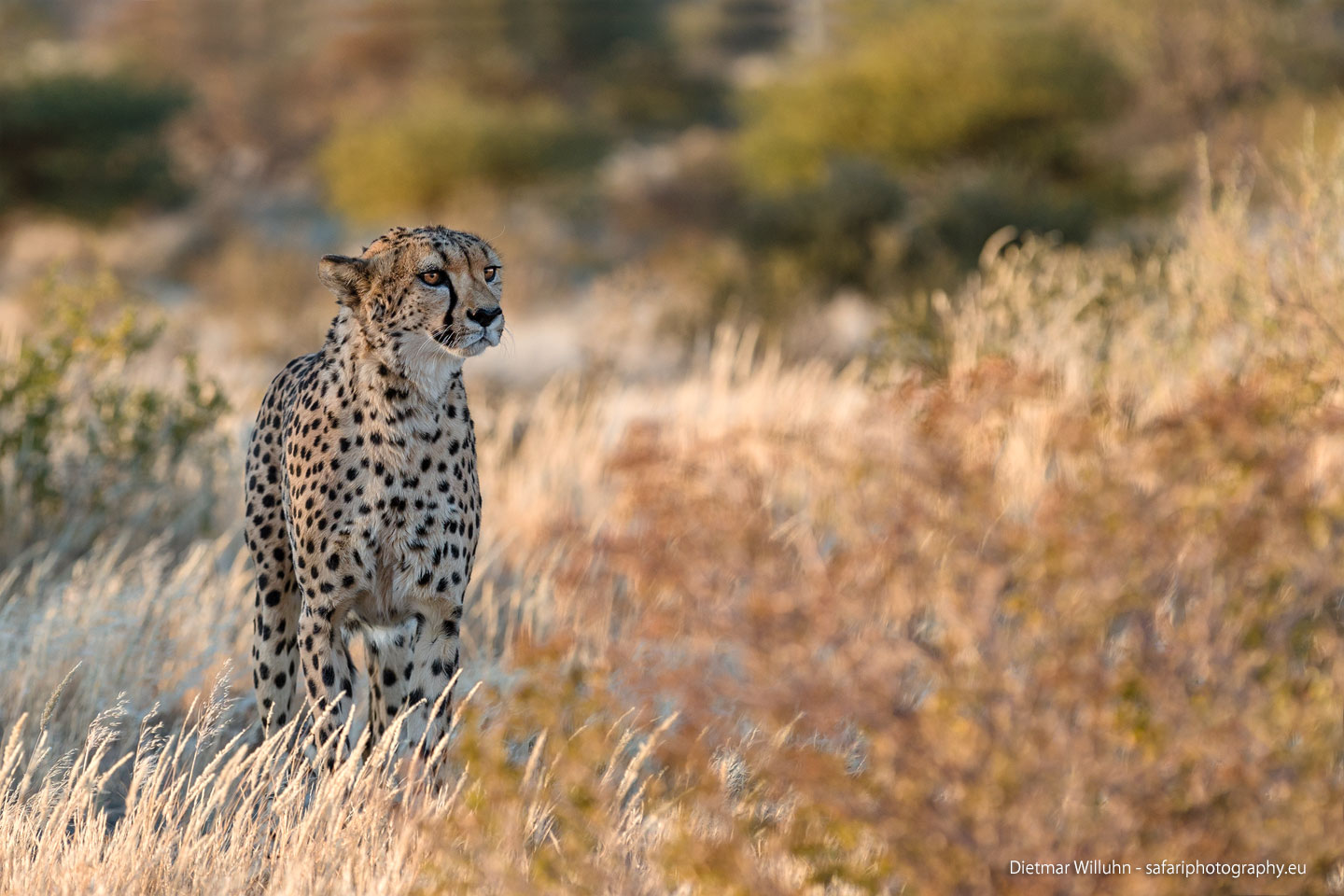 Gepard - Quivertree Forest - Namibia