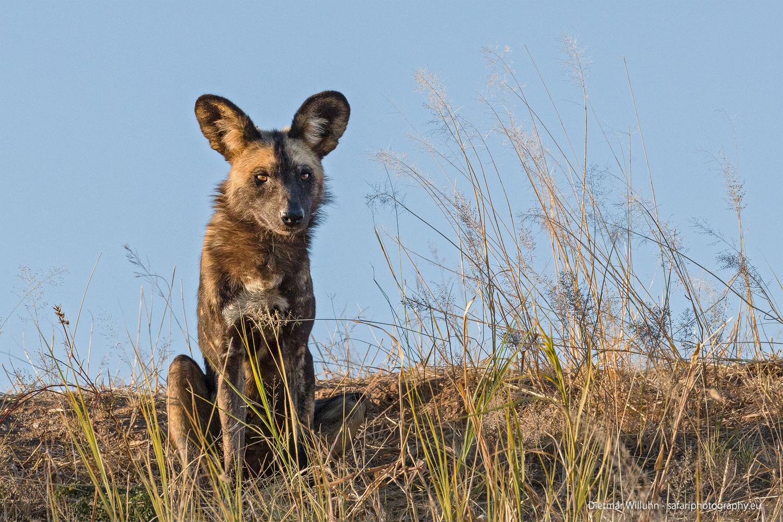 Afrikanischer Wildhund - Erindi Game Reserve - Namibia