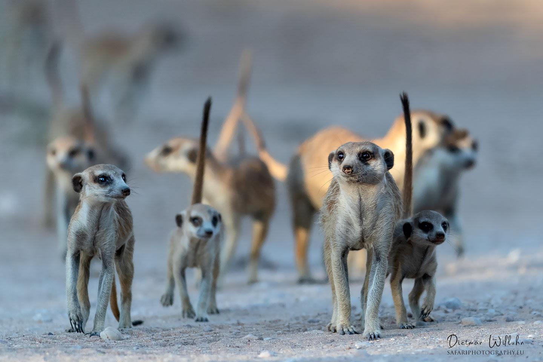 Erdmännchen (Surikate) - Kgalagadi Transfrontier Park - Südafrika