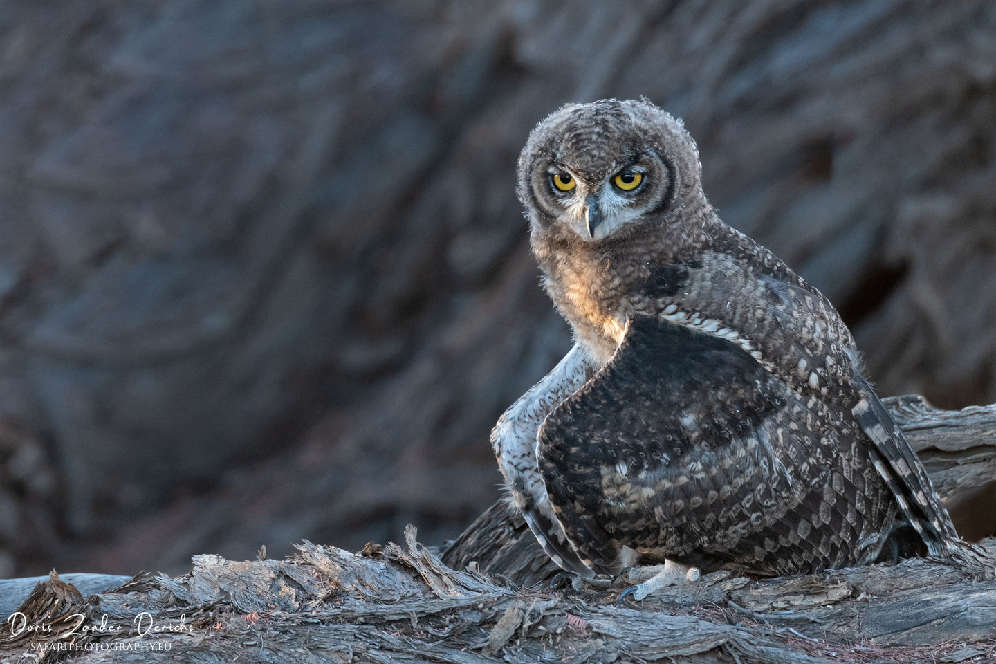Spotted Eagle-Owl - Kgalagadi Transfrontier Park - South Africa